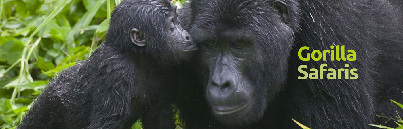 gorillas-Africa-for-you-tours-1